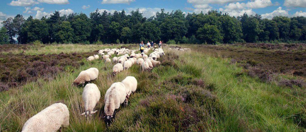De groep loopt met de schapen over de heide